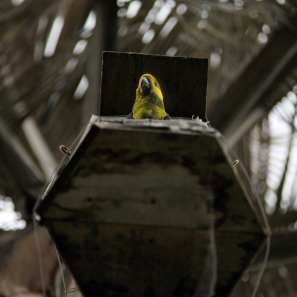 Yellow-eared_parrot