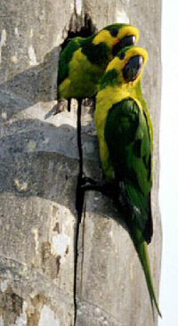 yellow-eared-parrot-duo