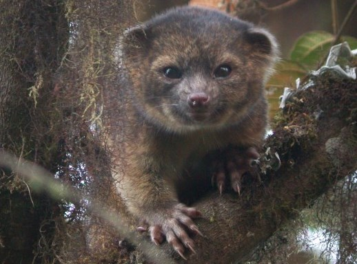2-photo-of-Olinguito