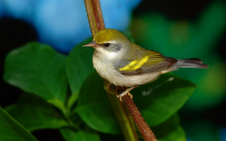 Golden Wings Alliance for the Conservation of the Golden-winged Warbler
