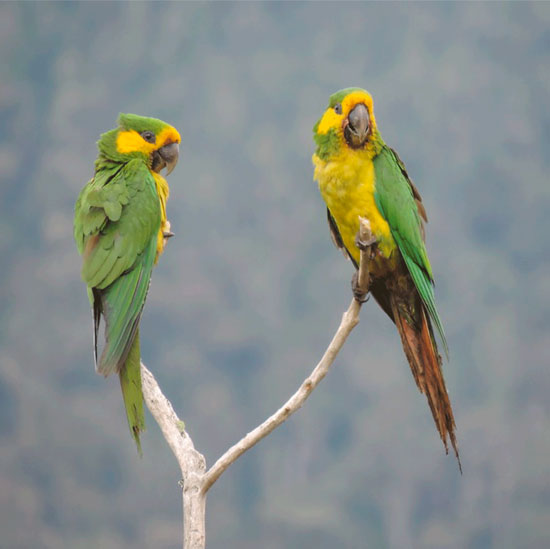 International team of scientists declare the Yellow-eared Parrot saved from extinction thanks to conservation action