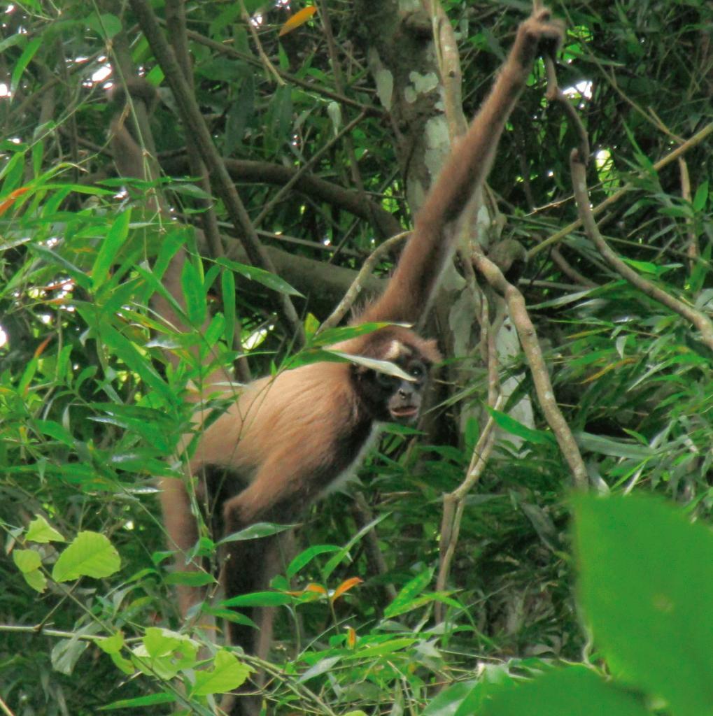 Mono Araña, uno de los primates más amenazados del país,  en la Reserva ProAves El Paujil