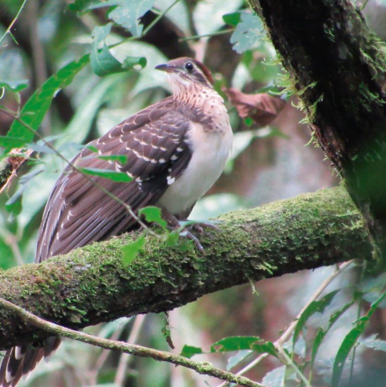 Record of pheasant cuckoo in the El Jaguar ProAves Reserve