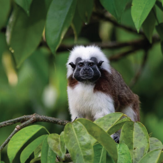 Conservation of the Cotton-top Tamarin and its habitat in Chocó