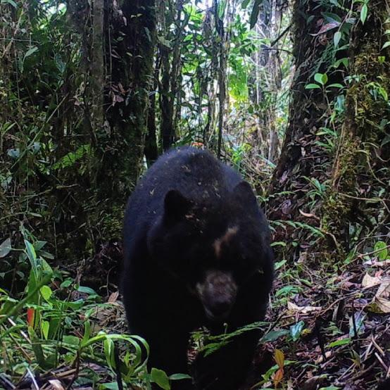 Cámaras trampa revelan gran biodiversidad en Reservas ProAves