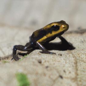 ProAves, por la conservación de anfibios amenazados