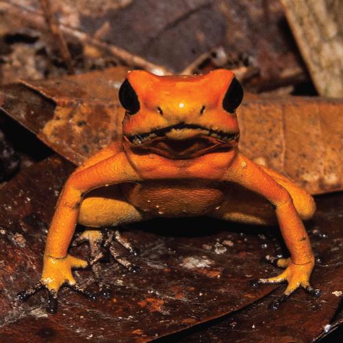 Una nueva esperanza para la rana más venenosa del mundo