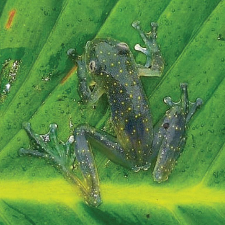 The list of amphibians in the El Pangán ProAves Reserve increases