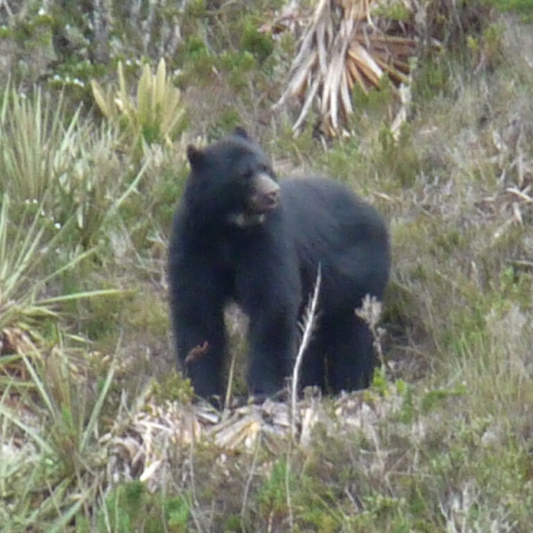 Committed to the Conservation of the Andean Bear