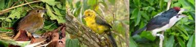 Tres aves amenazadas de Colombia